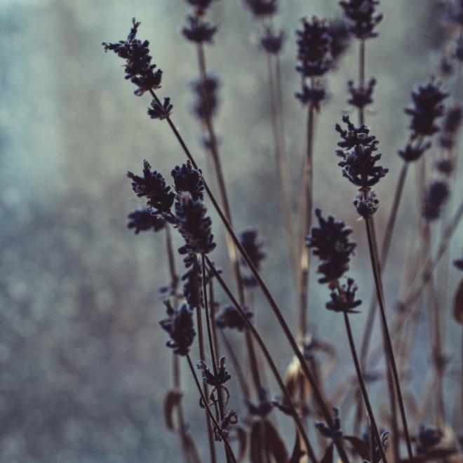 Lavendel am Fenster