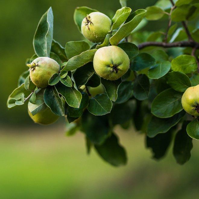 Permagold Apfel
